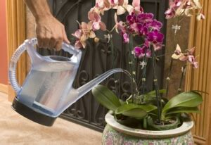 manutenzione orchidee in vaso an orchid s journey a high maintenance of