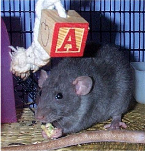why does my keep sneezing pet rat keeps sneezing the best rat of 2018
