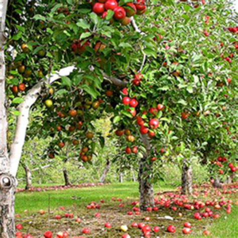meaning  symbolism   word apple tree