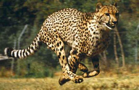 Are Jaguars In Africa Running Cheetah Nature S Crusaders