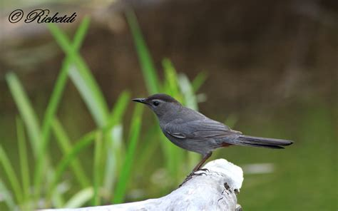 wallpaper grey with birds grey catbird full hd wallpaper and background image