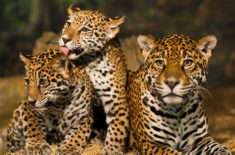 jaguars center list costa rica s jaguar rescue center