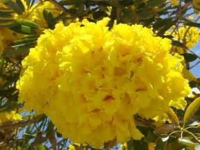 Fort Myers Flowers - angelil adventures what s that neon yellow tree