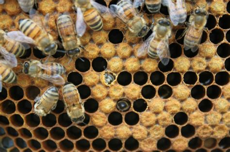 best 28 when do bees hatch a rare site male bee