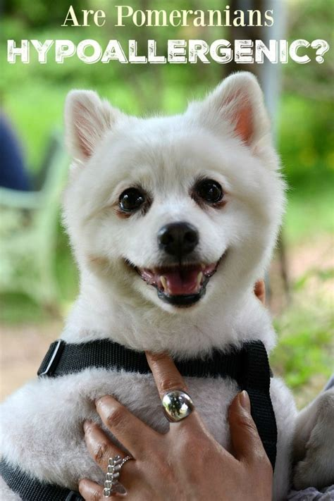 pomeranian food allergies 1000 images about hypoallergenic breeds on service dogs