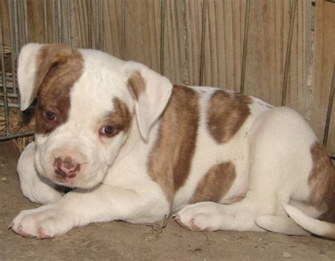 white american bulldog puppy american bulldog puppy in white with dots png hi res 720p hd