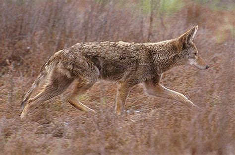 County may pay cash for dead coyotes | News | elkodaily.com