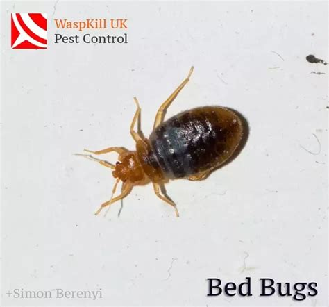how to get bed bugs out of your bed how to get bed bugs out of a bed quora