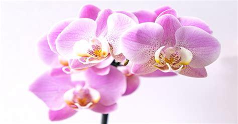 orchidea in vaso cura come coltivare le orchidee in casa cura irrigazione e