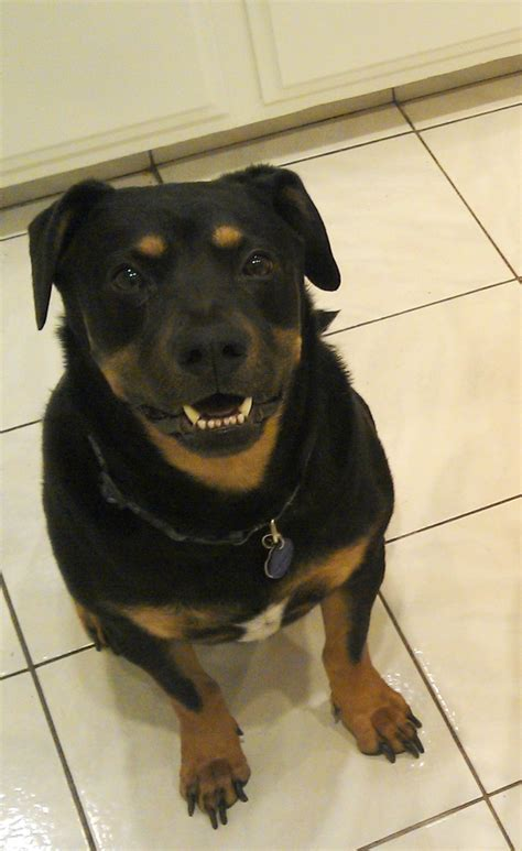 labrador and rottweiler mix pin rottweiler mixed lab on
