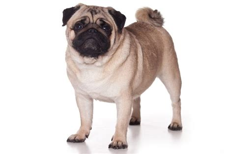 pugs bred for 8 breeds that originated in china