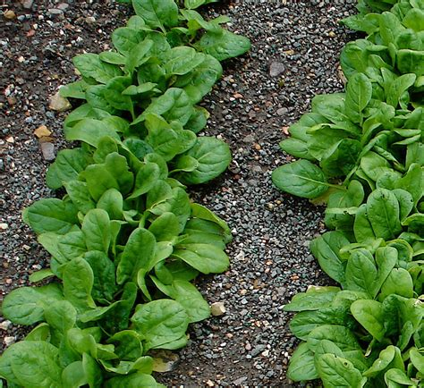 Spinach Garden by Growing Spinach Bonnie Plants