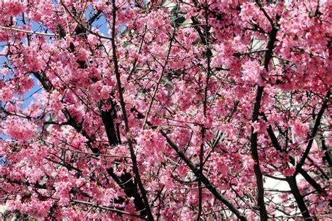 alberi in fiore a primavera l anticipo di primavera con gli alberi in fiore