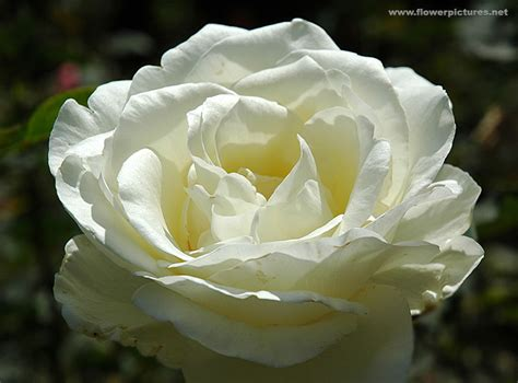 Pictures Of Gardens And Flowers by Pictures Of Rose Flowers Floribunda Hana Gasumi