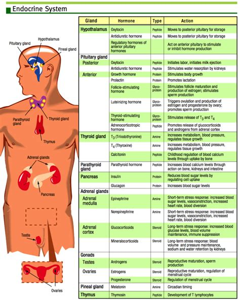 endocrine flowchart endocrine system chart on meducation