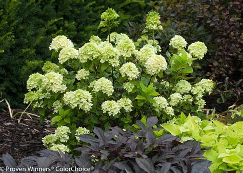 Patio Garden Containers - little lime 174 hardy hydrangea hydrangea paniculata images proven winners