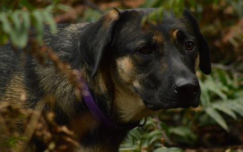 irritable bowel in dogs irritable bowel in dogs s upset stomach