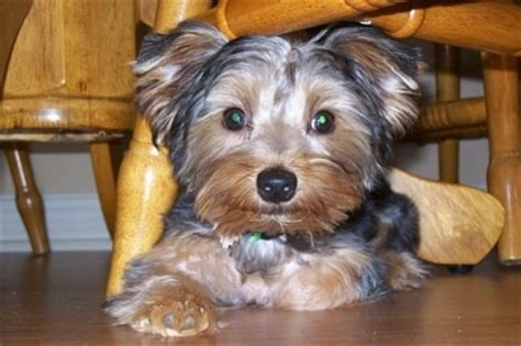 different type of yorkies terrier teacup yorkie puppies and yorkie boutique breeds picture