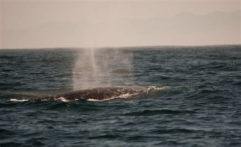 3 tips on spotting a migrating gray whale along the oregon