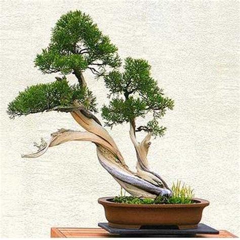 jenis tanaman  bisa dibuat  bonsai