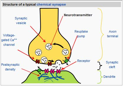 chemical synapse diagram 2 85 nerve cells and synapses a understanding for igcse
