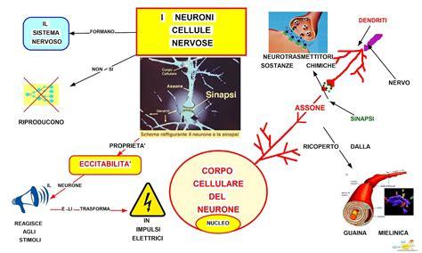 come si scrive apparte mappa concettuale i neuroni cellule nervose studentville