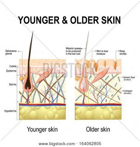 human skin stock photo 169 chaoss 1695911 human skin changes or ageing skin a diagram of younger and skin showing the decrease in