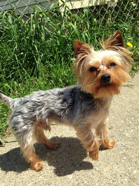 lost yorkie lost missing terrier yorkie charter