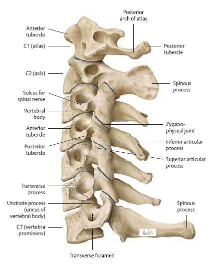 cervical section bones ligaments joints