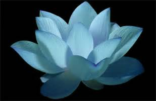 Blue Lotus Wiki Flower Blue Flower Lotus Flower Water Water