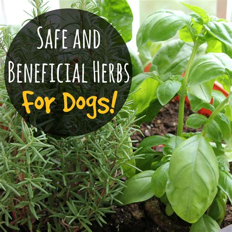 safe  beneficial herbs  dogs