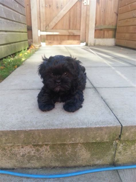 poodle x shih tzu for sale shih tzu x poodle for sale kent dogs in our photo