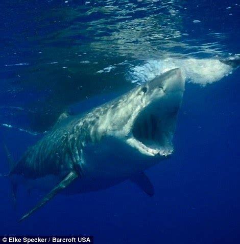 elke specker films a great white shark breach the waves to