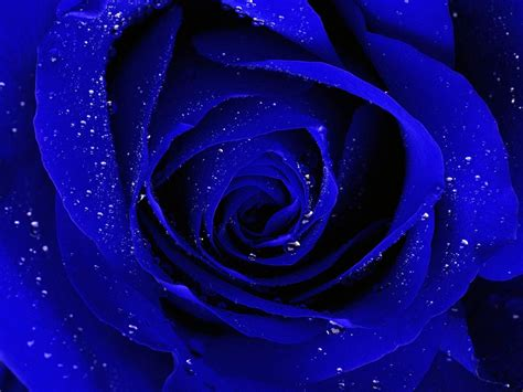 free wallpaper blue roses blue rose wallpapers hd free download