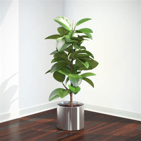 modern plants indoor vp ficus elastica feature image
