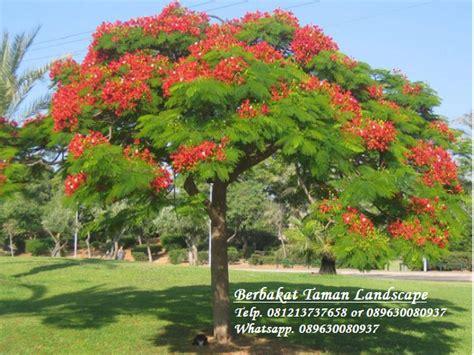 jual pohon flamboyan merah murah delonix regia tukang taman minimalis murah dan jual tanaman
