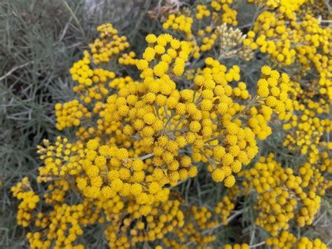 elicriso fiori elicriso helichrysum italicum aromatiche coltivare l