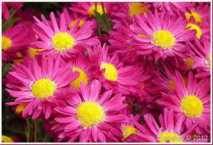 chrysanthemum colors magenta color chrysanthemum flower 171 wallpaper tadka