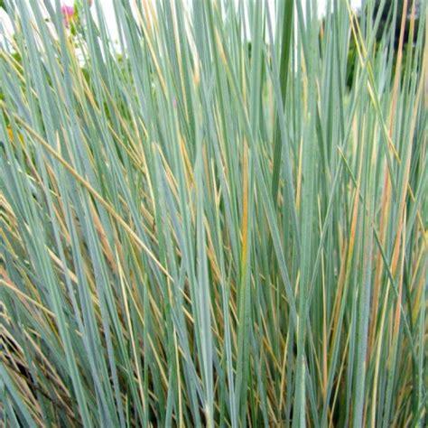 blue oat grass budget plants