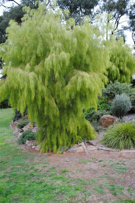 peppermint willow agonis flexuosa lemon  lime mm