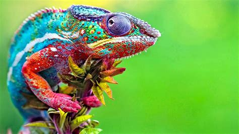 chameleon changing color best of chameleons changing