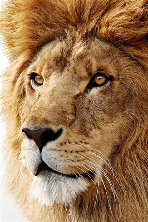 wallpaper iphone 7 lion 60 amazing animal iphone wallpaper free to download
