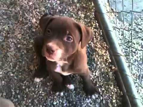 villalobos puppies villalobos puppies