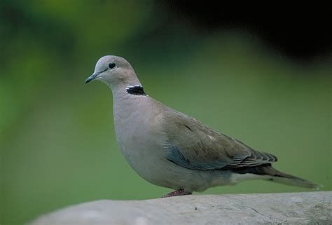 grey dove with black ring around neck south bird species wingshooting safaribound