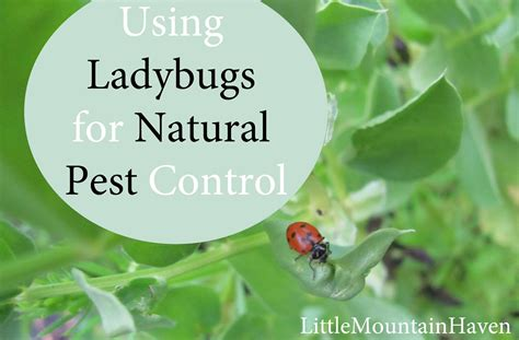 backyard pest control natural pest control ladybugs in your garden