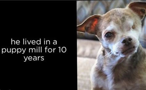 puppy mill vs breeder 17 best images about puppy mills vs responsible breeders on adoption