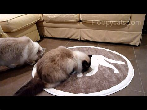 ragdoll cats review cat pet rug ねこ ラグドール floppycats