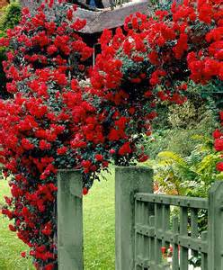 Climbing rose paul s scarlet climber is a profusely flowering