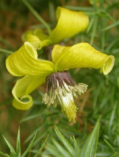 yellow flowering climbing plants 10pcs yellow clematis seeds perennials flower climbing