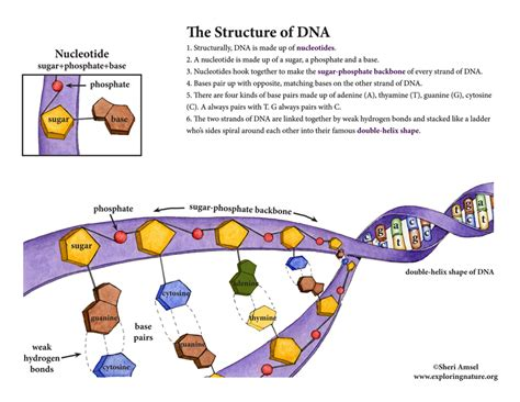 section 10 2 review dna structure dna structure and function